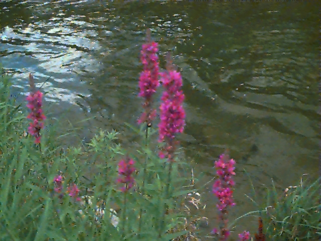 Purple Loosestrife image